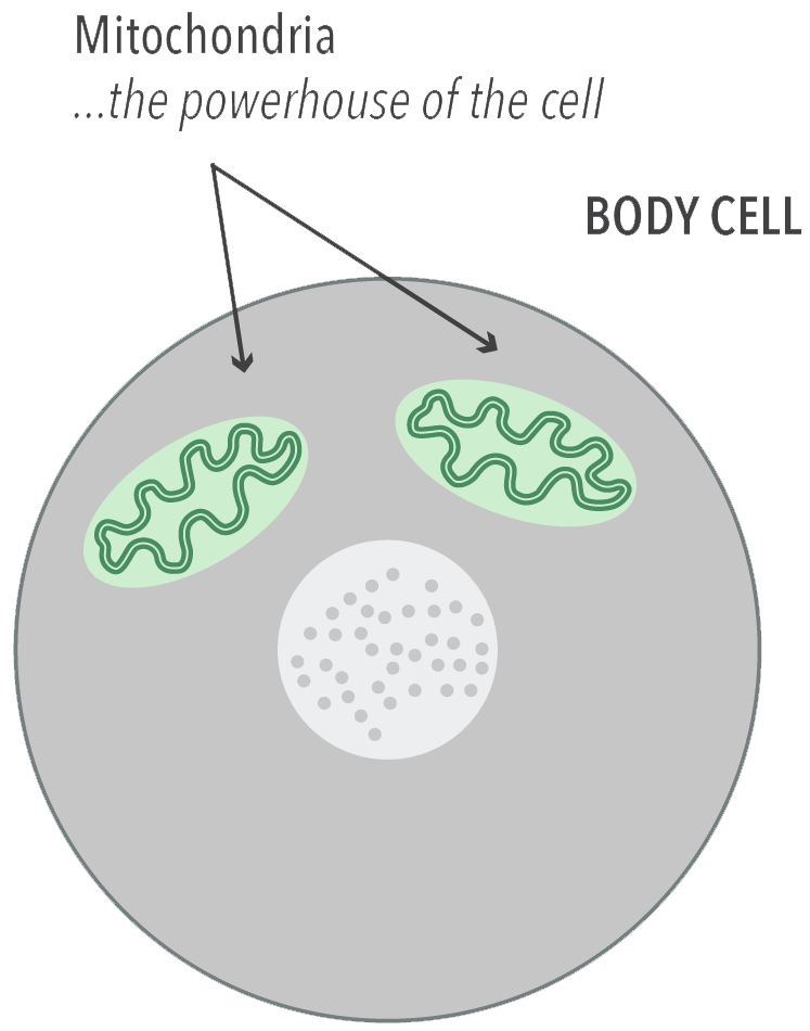 Mito cell diagram
